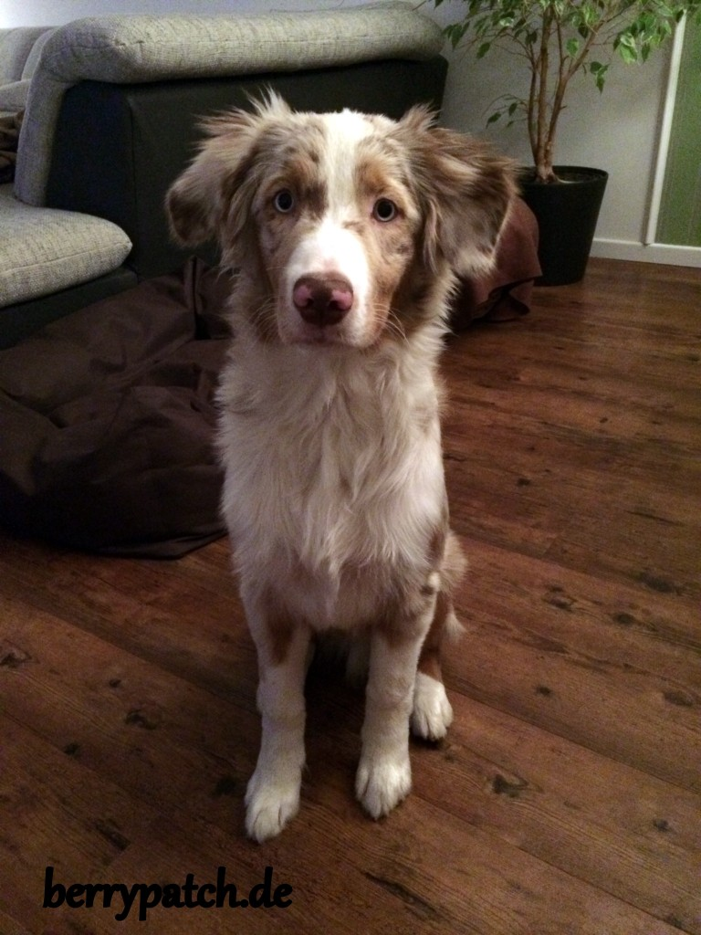 red merle Mini Aussie